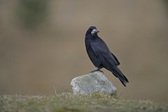 Rook, Corvus frugilegus,. Single bird on rock, Scotland, Gloucestershire Royalty Free Stock Image