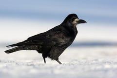 Rook, Corvus frugilegus Royalty Free Stock Image