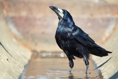Rook Corvus Frugilegus stands in the water and looks at the camera stock images