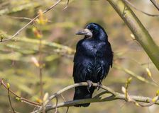 Free Rook - Corvus Frugilegus With Iridescent Plumage Perched In A Tree. Royalty Free Stock Image - 144682046