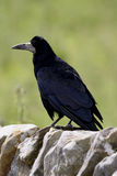 Rook (Coryus frugilegus). Breeds in colonies Rookeries in agricultural areas Stock Image