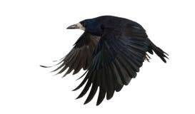 Rook, das Corvus frugilegus, 3 Jahre alt und fliegen Stockfoto