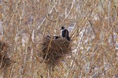 Rook, femmina, incubato le uova nel nido ed il corvo-maschio si siede sulla t fotografia stock