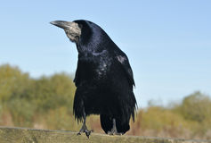 Rook On fence rail Royalty Free Stock Images