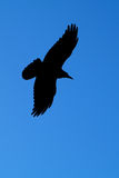 Rook in flight Royalty Free Stock Images