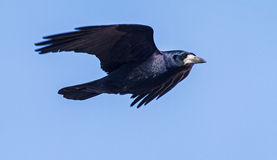 Rook in flight Royalty Free Stock Photo