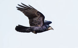 Rook in flight Royalty Free Stock Photography