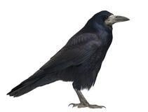 Rook, frugilegus del Corvus, 3 anni, levantesi in piedi fotografia stock libera da diritti