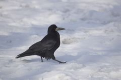 Rook (frugilegus do Corvus) Fotografia de Stock