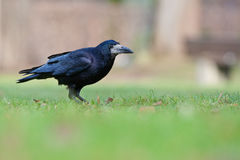 Rook on grass. Urban rook in a cemetery on grass Royalty Free Stock Photos