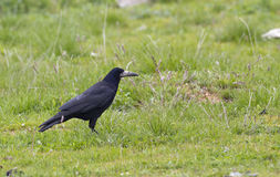 Rook on Grass (Corvus frugilegus). A rook is feeding on grass royalty free stock photos