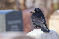 Rook on a gravestone Stock Photography