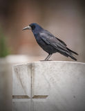 Rook on a gravestone marked with a cross Stock Photos