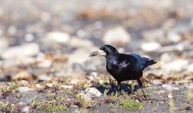 Rook on the Ground (Corvus frugilegus) Stock Photo