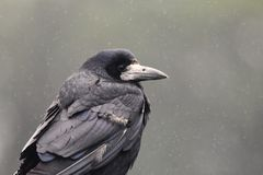 Rook In The Rain Stock Images
