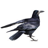 Rook isolated on white background Stock Image
