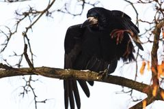Rook knead wings sitting on a branch. Winter, wildlife, birds Royalty Free Stock Images