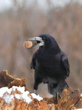 Rook   with a nut in the beak Royalty Free Stock Images