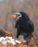 Rook with a nut in the beak 2. Rook (Corvus Frugilegus) on a snowy log with a nut in the beak stock photography