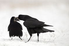 Rook pair. The picture was taken form a hide in Hungary Stock Photos