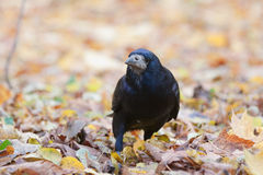 Rook in the park Stock Image