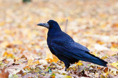 Rook in the park Royalty Free Stock Images