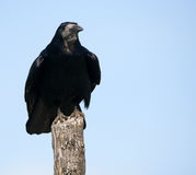 Rook perched on a pole Royalty Free Stock Image