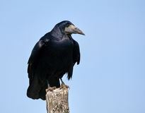 Rook perched on a pole Stock Images