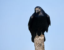 Rook perched on a pole Royalty Free Stock Photo