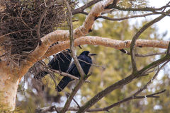 Rook in pine trees. Rooks sitting on the branch of a pine tree Stock Photos