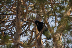 Rook in pine trees. Rook sitting on the branch of a pine tree Stock Image