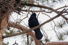 Rook in pine trees. Rook sitting on the branch of a pine tree Stock Photos