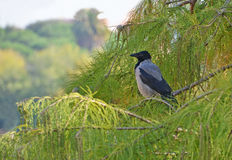 Rook portrait. Rook perched on the foliage tree Royalty Free Stock Photos