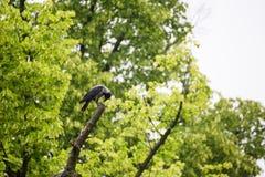 Rook raven sitting on tree Stock Photo