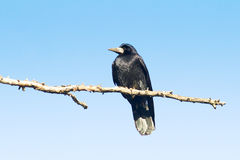 Rook resting on branch ( Corvus frugilegus) Stock Images