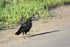Rook on the road Stock Image