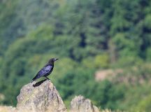 Rook on a Rock Royalty Free Stock Image