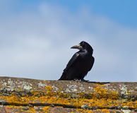 Rook on Roof Stock Image