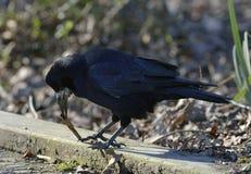 Rook. Corvus frugilegus Stock Photo