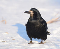 Rook On Snow Royalty Free Stock Photo