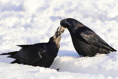Rook on snow Royalty Free Stock Image