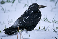 Rook in snow Royalty Free Stock Photography