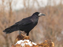 Rook  on a snowy log 4. Stock Image