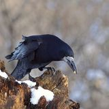 Rook on a snowy log, with prey Royalty Free Stock Photos