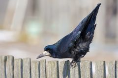 Rook in early spring balance himself on a fence royalty free stock photo