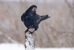 Rook stands on top of a snow covered snag or trunk in snow storm. Rook sits on a snowy branch or trunk in blizzard royalty free stock images
