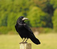 Rook staring in to the distance stock photography