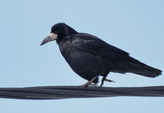 Rook on wire Royalty Free Stock Image