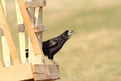 Rook on wooden structure Stock Photo