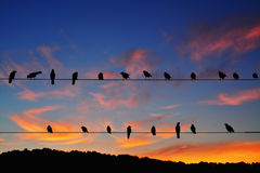 Rooks - Corvus frugilegus perched on power lines Royalty Free Stock Images